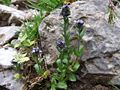 Veronica alpina a1.jpg