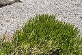 Veronica lycopodioides × V. subalpina in Christchurch Botanic Gardens 01.jpg