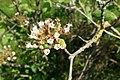 Viburnum cotinifolium kz2.jpg