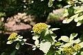 Viburnum lantana Variegata 2zz.jpg