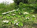 Viburnum plicatum var tomentosum2.jpg