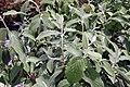 Viburnum x rhytidophylloides Alleghany 1zz.jpg