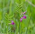 Vicia sativa subsp. nigra in Aveyron.jpg