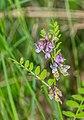 Vicia sepium in Aveyron (2).jpg