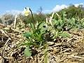 Viola arvensis subsp. arvensis sl7.jpg