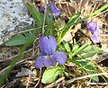 Viola egglestonii.jpg