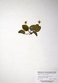 Viola rotundifolia BW-1979-0403-0748.jpg