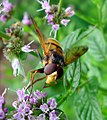 Volucella inanis. - Flickr - gailhampshire (1).jpg