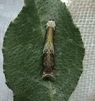 Hypermetamorphosis - An early instar of Papilio polytes, like that of many other Papilionidae, resembles a bird dropping.