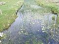 Waterlillies at Ballard Bridge - Ballard Townland - geograph.org.uk - 837244.jpg