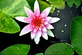 Waterlily in Thailand Photographed 5 by TrisornTriboon.JPG