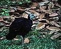 Wattled Brush-turkey (Aepypodius arfakianus) (7937162662).jpg