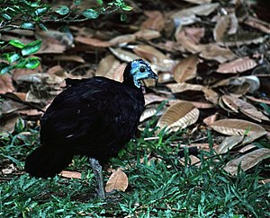 Wattled Brush-turkey (Aepypodius arfakianus) (7937162662).jpg