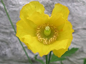 Papaver - The Welsh poppy, Meconopsis cambrica, may belong in the genus Papaver.