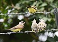 Western Kingbird (fledges and parents) (29748125018).jpg