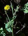 Whf yellow 38.jpg