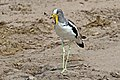 White-crowned lapwing (Vanellus albiceps).jpg