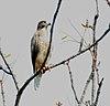 White-eyed Buzzard (Butastur teesa) in Kawal WS, AP W IMG 2222.jpg
