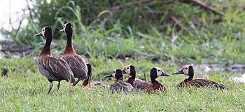 White-faced whistling ducks, Zimbabwe.jpg