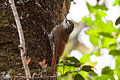 White-striped Woodcreeper (Lepidocolaptes leucogaster) (8079381062) (2).jpg
