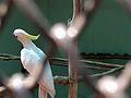 White Parakeet.jpg