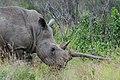 White Rhinoceros (2875201344).jpg