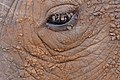 White Rhinoceros (Ceratotherium simum) close-up ... Really close !!! (31022899935).jpg