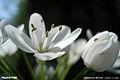 White flowers2.jpg