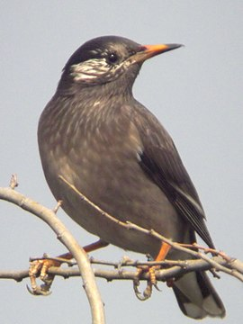 Whitecheekedstarling.jpg