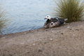 Wide shot of a duck sitting by the Al Qudra Lake.png