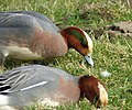 Widgeon male with teal eyestripe (Anas penelope) (33024367023).jpg