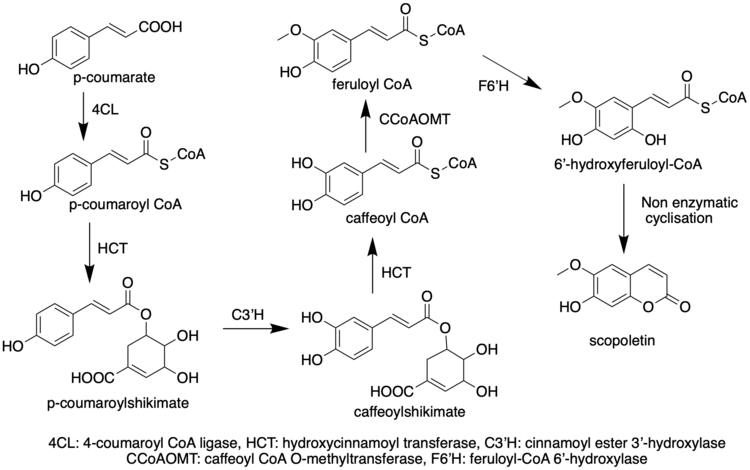 Biosynthetic pathway of Scopoletin