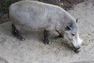 Bornean bearded pig - At the San Diego Zoo