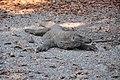 Wild Komodo dragon - Komodo island (17119348721).jpg