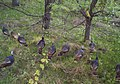 Wild turkey flock (7000601868).jpg