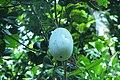Winter melon kumbalanga.jpg