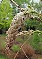 Wisteria sinensis kz03.jpg