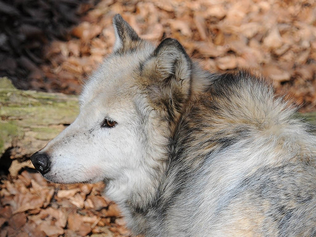 File Wolf Canis Lupus 08 Jpg Wikimedia Commons