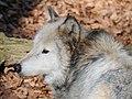 Wolf, Canis lupus 08.JPG