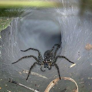<i>Hippasa</i> Genus of spiders