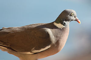 Columba (genus) - Wood pigeon (C. palumbus) in Taormina, Sicily
