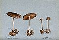 Wood woolly foot mushroom (Collybia peronata); four fruiting Wellcome V0043400.jpg