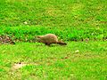 Woodchuck on the run at Pohick Bay Regional Park.jpg