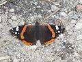 Wzwz butterfly d1.jpg