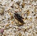 Xya iberica^ Pygmy Mole Cricket - Flickr - gailhampshire.jpg