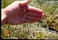 Xyris montana 2-eheep (5097994506).jpg