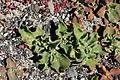 Yaiza El Golfo - Avenida Maritima - Mesembryanthemum crystallinum 02 ies.jpg