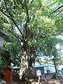 Yamanaka Hachimangu Kusunoki.jpg