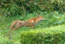 Yawning fox.png