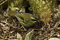 Yellow-throated Scrubwren - Lamington NP - Queensland MG 3717 (21766032354).jpg